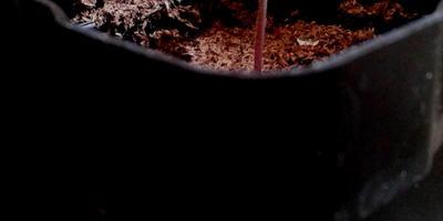 Томат Амурский тигр. II этап. Всходы, появление первого настоящего листа