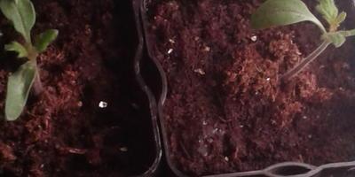 Томат Щедрый вкус. III этап. Развитие растений и уход за ними
