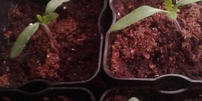 Томат Амурский тигр. III этап. Развитие растений и уход за ними