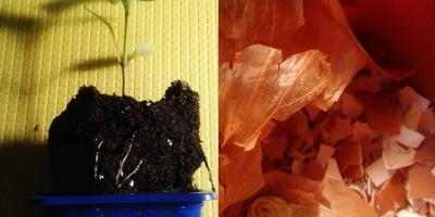 Перец сладкий Большое золото. III этап. Развитие растений и уход за ними. Перевалка