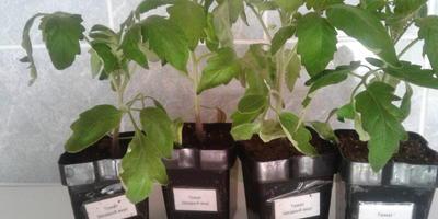 Томат Щедрый вкус. III этап. Развитие растений и уход за ними. Перевалка