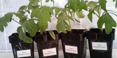 Томат Медовый гигант. III этап. Развитие растений и уход за ними. Перевалка