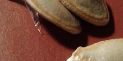 Кабачок цуккини Тигрёнок. I этап. Энергия прорастания семян в сравнении с другими семенами кабачков