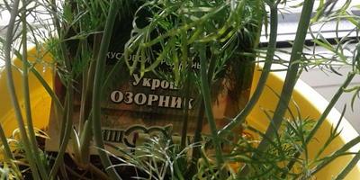 Укроп Озорник. Рост и развитие рассады. Небольшой фотоотчёт из детского сада