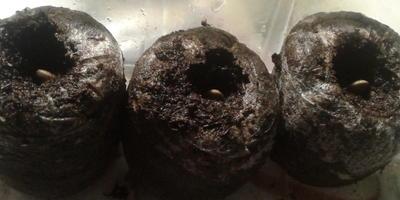 Кабачок цуккини Тигрёнок. I этап. Энергия прорастания семян в сравнении с другими семенами кабачков. Продолжение