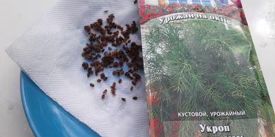 Укроп Озорник. Посев в открытый грунт. Всходы