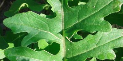 Руккола культурная (Индау) Покер. Характеристика урожая зелени. Последний сбор урожая