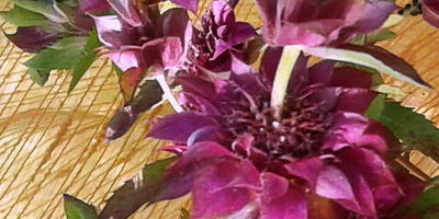 Монарда Бергамо - цветок контрастов