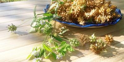 Пажитник голубой Изумительный аромат. Характеристика урожая