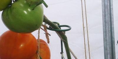 Томат Медовый гигант. VI этап. Плодоношение. Второй сбор урожая