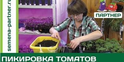 Пикируем томаты