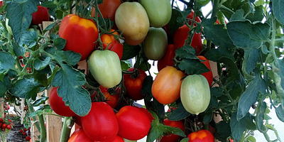 """Наш конкурс """"Лучший урожай томатов от Партнера"""" подходит к завершению"""