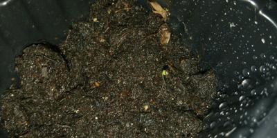 Сколько кустиков земляники можно высадить в ёмкость 35*20 см для выращивания в домашних условиях?