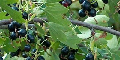 Семена и саженцы смородины золотистой Смородина золотистая (Ribes aureum)