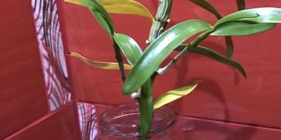 Можно ли орхидею Дендробиум Нобиле оставить на день в воде без коры?