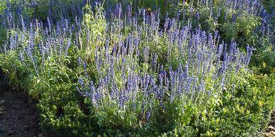 Как называются голубенькие цветочки?