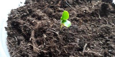 Посев семян церциса. Отчёт