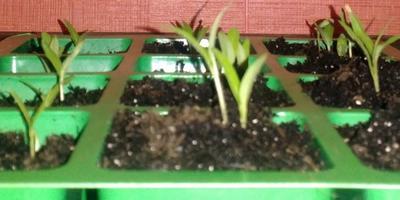 До какой степени можно разрешить рассаде  вытягиваться?