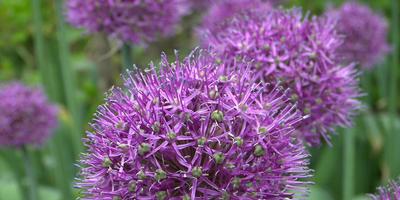 Семена Allium aflatunense (Лук афлатунский)
