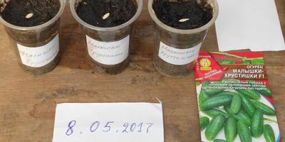 Огурец Малышки-хрустишки F1. Посев семян