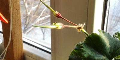 После цветения герани остались стрелки. В чем причина?