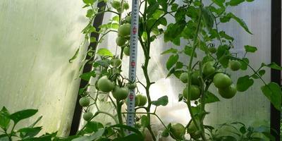 Любаша, приятно удивившая нас в это непростое лето: начинается сбор урожая!