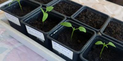 Перец сладкий Чудо-великан F1. III этап. Развитие растений и уход за ними. Пикировка рассады