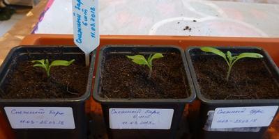 Томат Снежный барс. III этап. Развитие растений и уход за ними. Пикировка рассады