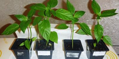 Перец сладкий Чудо Великан F1. III этап (окончание). Развитие растений и уход за ними. От пикировки до высадки в теплицу