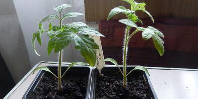 Томат Мишка на Севере F1. III этап (окончание). Развитие растений и уход за ними. От пикировки до высадки в теплицу