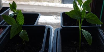 Перец сладкий перец Большое золото. III этап (окончание). Развитие растений и уход за ними. От пикировки до высадки в теплицу