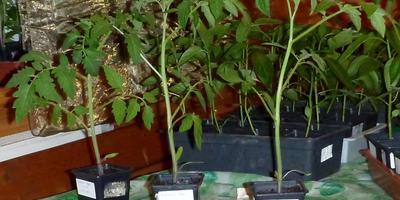 Томат Снежный барс. III этап. Развитие растений и уход за ними. От пикировки до высадки в грунт