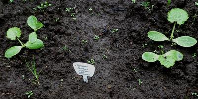 Кабачок цуккини Генерал. III - IV этапы. Развитие растений и уход за ними, прореживание всходов