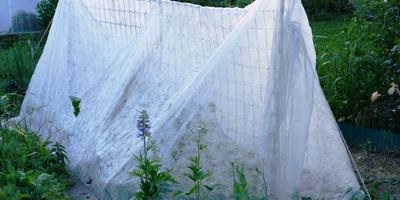 Огурец Мечта дачника F1. III этап. Развитие растений и уход за ними