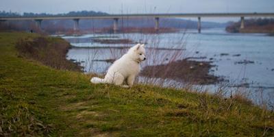 Невероятный самоедский пес Моби Дик!