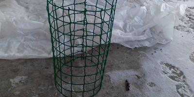 Лавр в открытом грунте (Укрытие Лавра на зиму)
