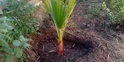 Пальмы в открытом грунте (как укрыть пальму?)
