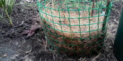 Бругмансия в открытом грунте (без выкопки)