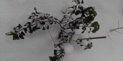 Лавровишня в открытом грунте