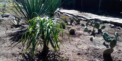 Кактусы для открытого грунта
