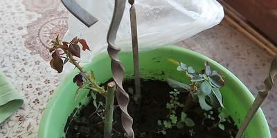 Когда можно снять укрытие с черенков роз?