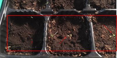Петуния Мария F1. II этап. Всходы. Появление настоящих листьев