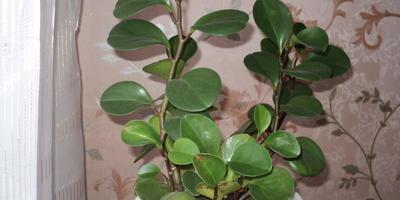 Что за растение у меня растет?