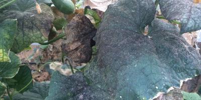 Помогите определить вредителей огурцов