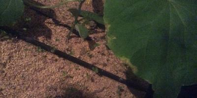 Чем болеют листья огурца?