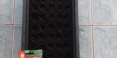 Баклажан Бомбовоз. Тест на всхожесть