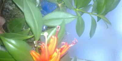 Подскажите, пожалуйста, название этого цветка?