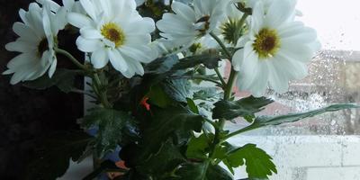 Помогите определить вид хризантемы!