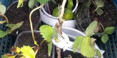 Можно ли высадить клубнику, смородину и малину?