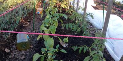 27 мая, прошло шесть дней после высадки томатов Любаша